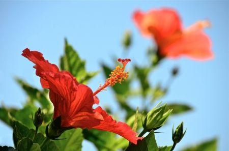 Hibiszkusz Trópusi virágok, kék ég - Hawaii, egzotikus, trópusi, ég, kék, hawaii, hibiszkusz, virág