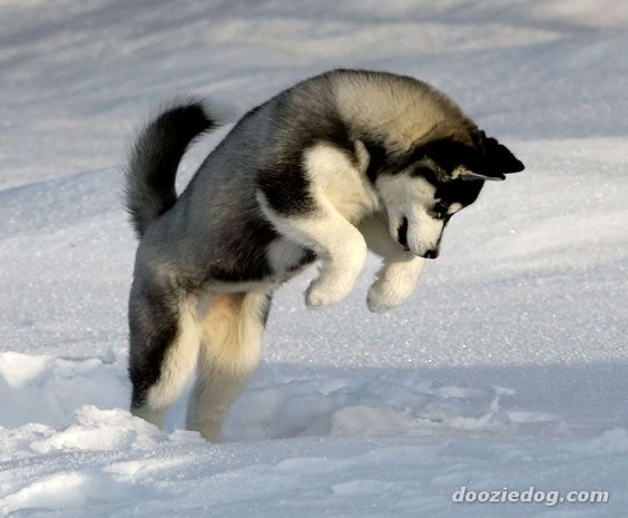 Isn't this the cutest capture of a husky at play in the snow?