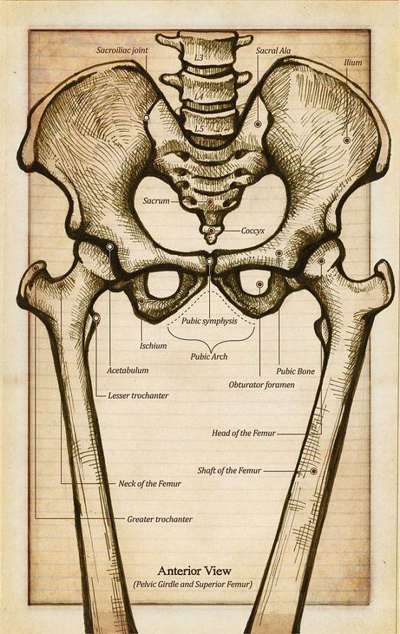 Pelvic girdle muscles anatomy