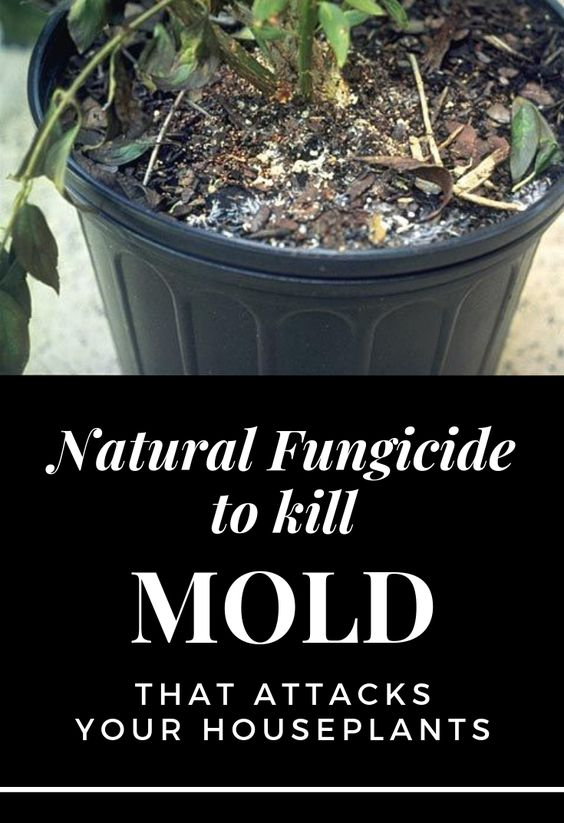 Natural Fungicide To Kill Mold That Attacks Your Houseplants