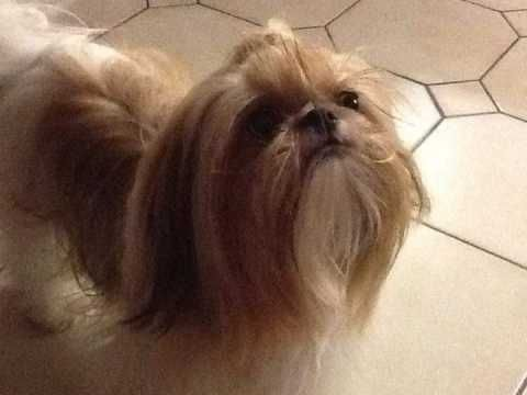 Imperial Shih Tzu Puppies For Sale Puppies For Sale Shih Tzu