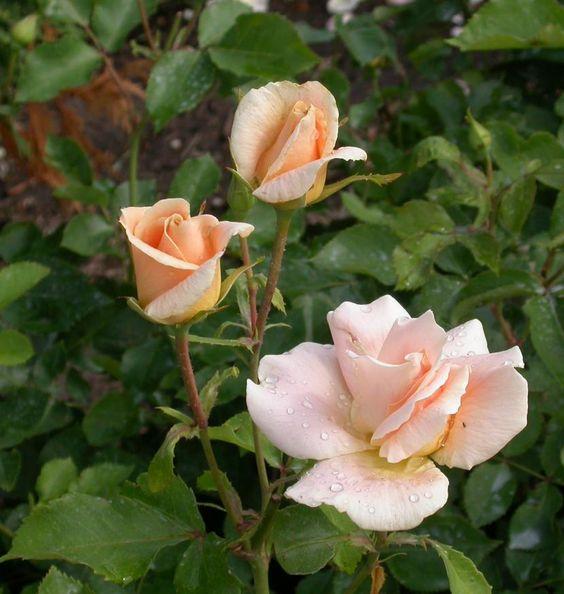 Rosa Pearlie Mae