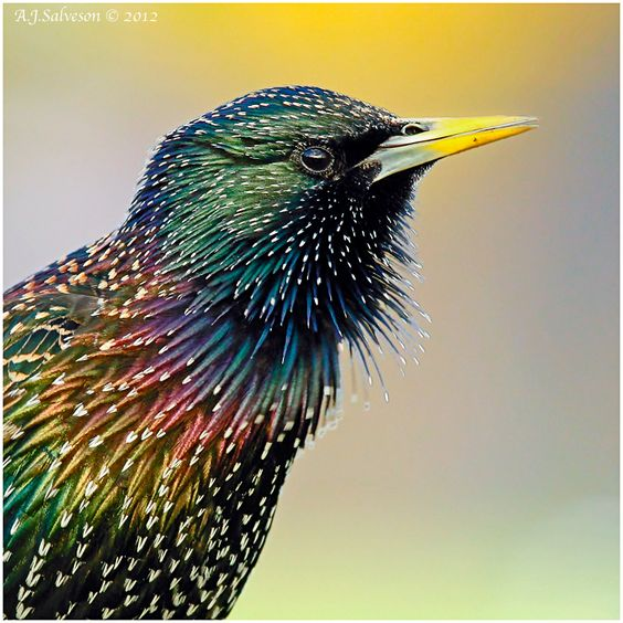 Iridescent Starling.  by Andy Salveson.