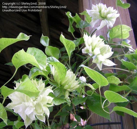clematis 39 duchess of edinburgh 39 plants pinterest. Black Bedroom Furniture Sets. Home Design Ideas