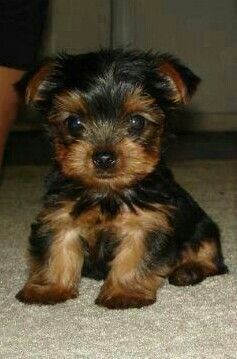 Teacup Yorkie Puppy. Too Cute! I WANT ONE SOOO BAD. i saw one named sally on a boat at lake almanor.