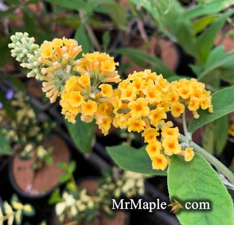 Buddleia X Weyeriana Honeycomb Yellow Butterflybush Yellow Flowering Shrub Japanese Maple Tree Butterfly Bush