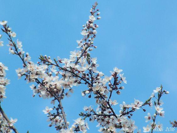 Blütenbaum und strahlend blauer Himmel