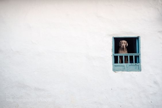 Dog poking out from a window by claudiogiovenzana