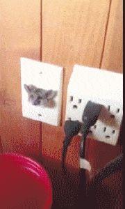 Kangaroo Rat Stuck in Wall Jack