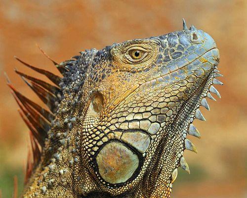 Green Iguana | Flickr - Photo Sharing!