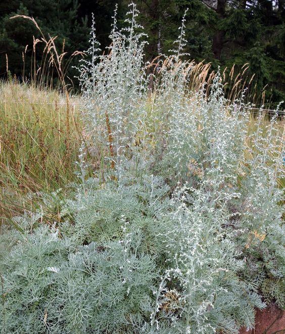 Der Strand-Beifuß (Artemisia maritima) wird selten kultiviert, hat aber viele Vorzüge. Unter anderem ist er einer der wenigen Beifüße mit winter- bis immergrünem Laub.