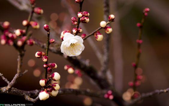 apricot flower - Google Search