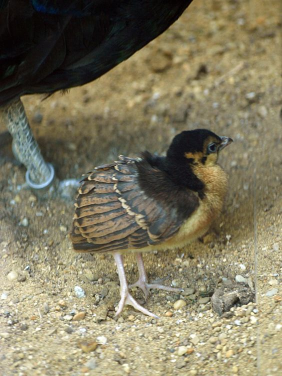 Congo Peafowl Bird Information And Pictures Peafowl Pet Birds Pets