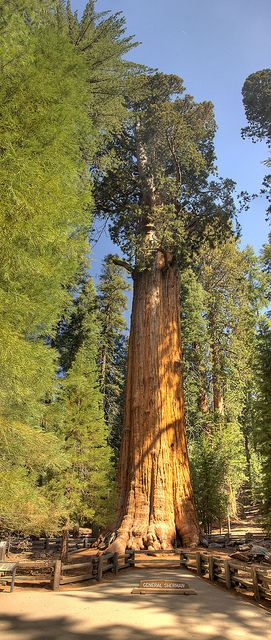 "The ""General Sherman"" Sequoia -- The largest tree in the world (by volume). It took a 2 shot vertical panorama to get the whole tree into the shot."
