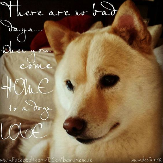 There are no bad days... when you come home to a #dog's love. #shiba