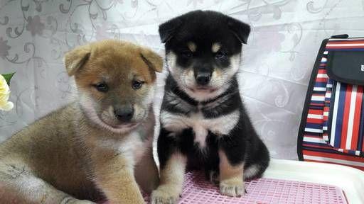 Shiba Inu Japanese Spitz Pembroke Welsh Corgi Pomeranian And Maltese Dog Breeder Subs 37178 In Los Angeles California Dog Breeder Safe Dog Toys Shiba Inu