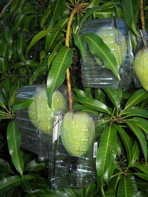 Diy Plastic Fruit Protector Fruit Garden Plants Fruit Trees