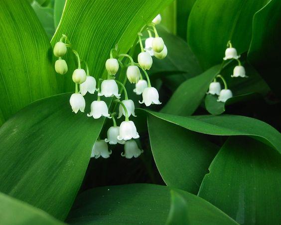 Lírio do vale, pétalas brancas, folhas verdes Papéis de Parede - 1280x1024