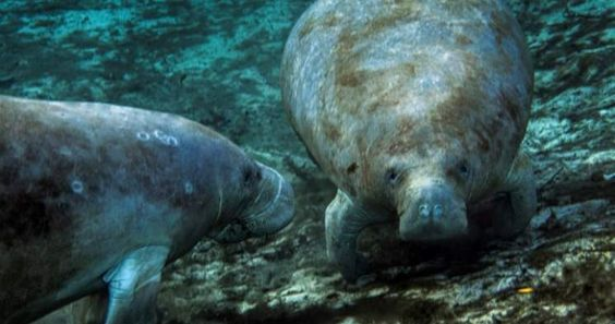 Save the Manatee? Not if It Interferes With the Climate Agenda