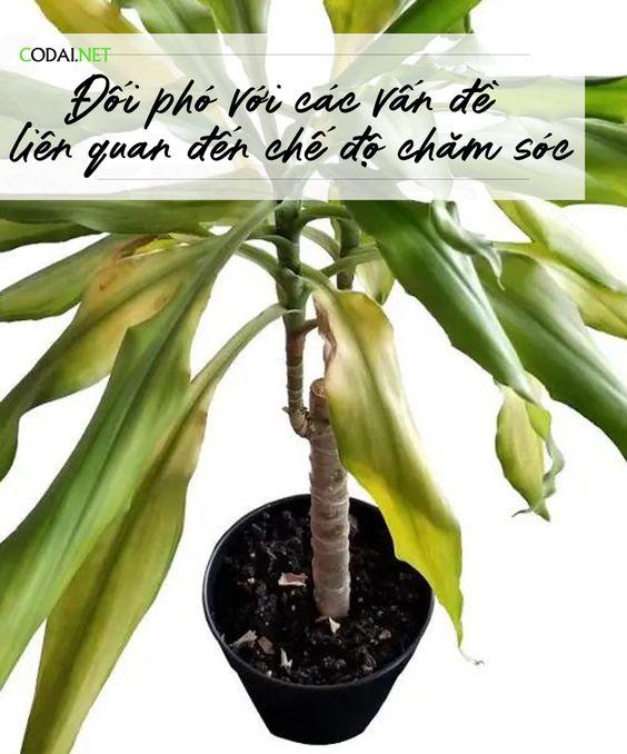 [Ebook Việt Hoá] Cây Cảnh Trong Nhà Thực Hành – Chương IV – 18. Đối phó với các vấn đề liên quan đến chế độ chăm sóc