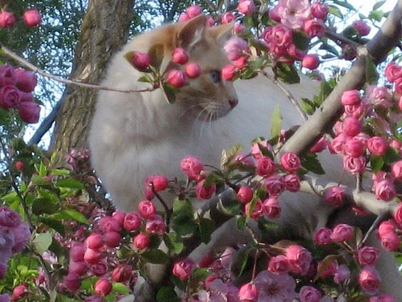 Sammy among Brandywine Crabapple Blossoms