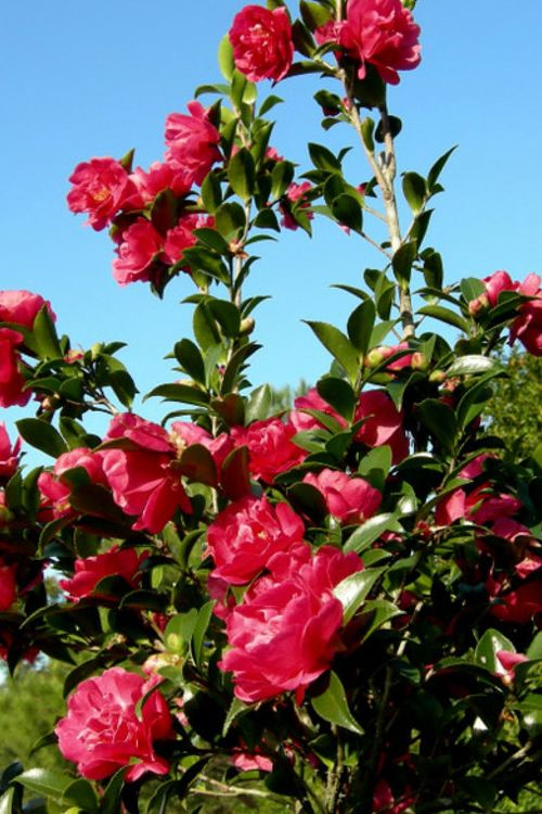 Buy October Magic Rose Camellia Plants For Sale Online From Wilson Bros Gardens Plants Camellia Plant Plant Sale