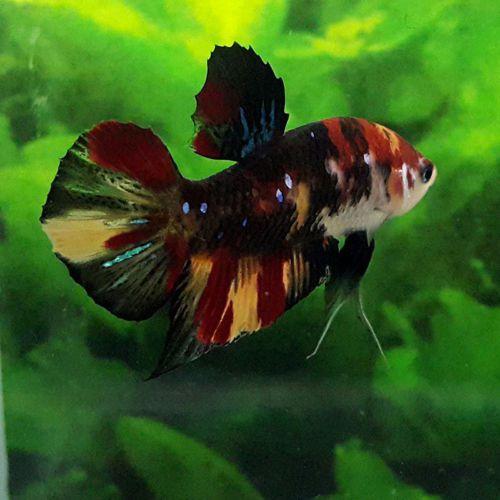 Live Betta Fish Fancy Koi 5 Color Hmpk Halfmoon Plakat Male