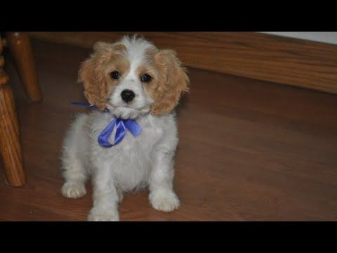 Cavapoo Facts Cavapoo Information Cavapoo Breeder Cavapoo Puppies For Sale Youtube Cavapoo Puppies