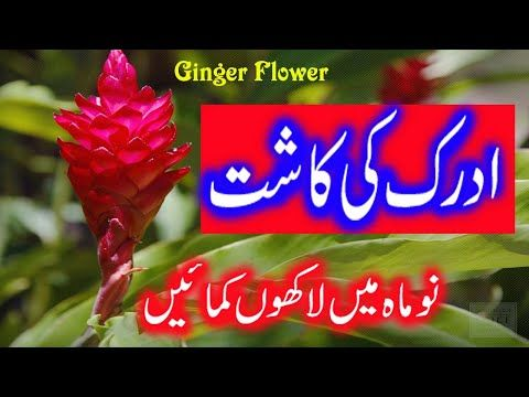 Punjab Me Adrak Ki Kashat Ginger Plant Flower Adrak K Fawaed Adrak Ki Kheti ادرک کی کاشت Youtube In 2020 Ginger Plant Flower Ginger Plant Planting Flowers