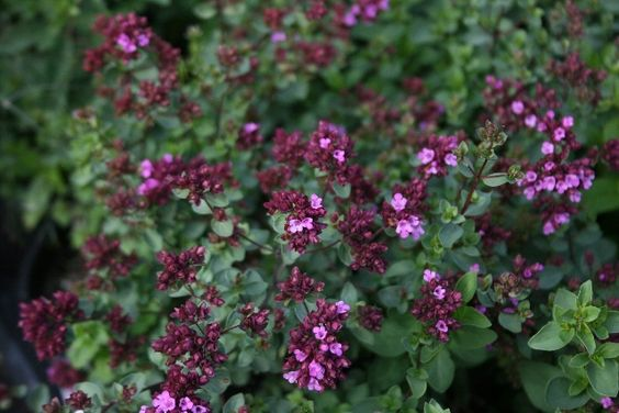 Image result for origanum laevigatum hopley's purple