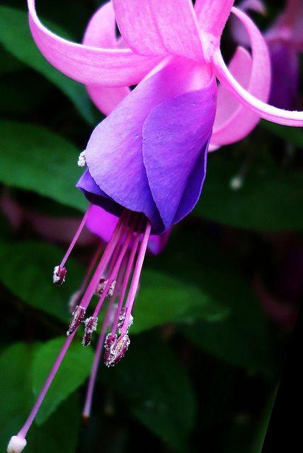 Ballettröckchen. Pink Ballerina. Fuchsia ver. 3, Fuchsie. Glockenstöckel. Ballerinen.Onagraceae, Nachtkerzengewächs. by eagle1effi, via Flickr