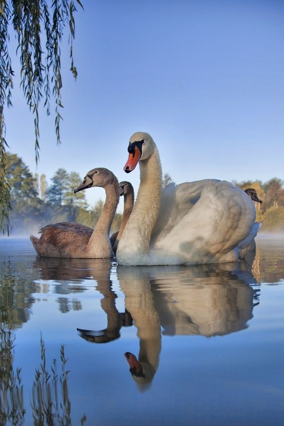 Swan family, by Albin Bezjak  GORGEOUS LARGE Picture