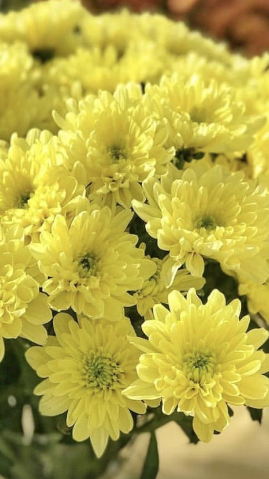 Chrysanthemum In 2020 Yellow Daisy Flower Chrysanthemum Flower Chrysanthemum