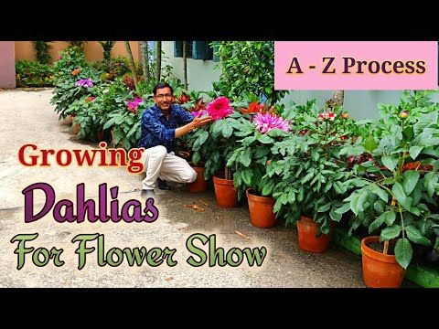 Growing Dahlias From Cuttings The Full Tutorial Learn From A Z Process Youtube Growing Dahlias Dahlia Growing