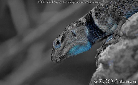 Blauwe stekelleguaan - Sceloporus serrifer cyanogenys - blue spiny lizard | by MrTDiddy