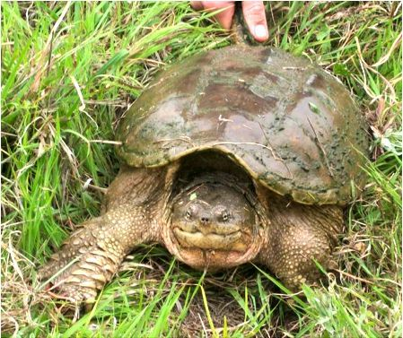 Alligators turtles and snapping turtle on pinterest