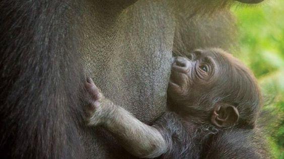 Cuando las autoridades del zoológico de Filadelfia supieron que una gorila daría…