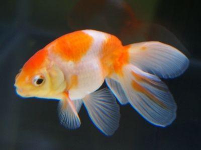 画像 4/11:珍しい金魚の種類!金魚の新星&異端児 [金魚] All About