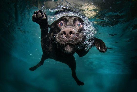 black lab, underwater