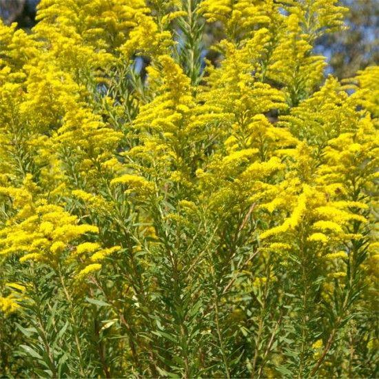 100 Seeds Solidago Canadensis Golden Rod Golden Baby