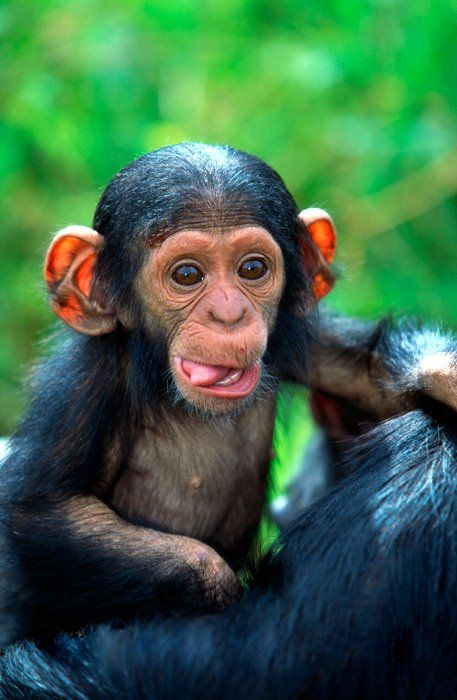 Baby chimpanzee! They are so adorable and cute!