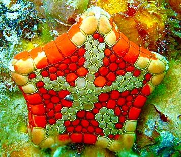 Biscuit Sea Star or Starfish
