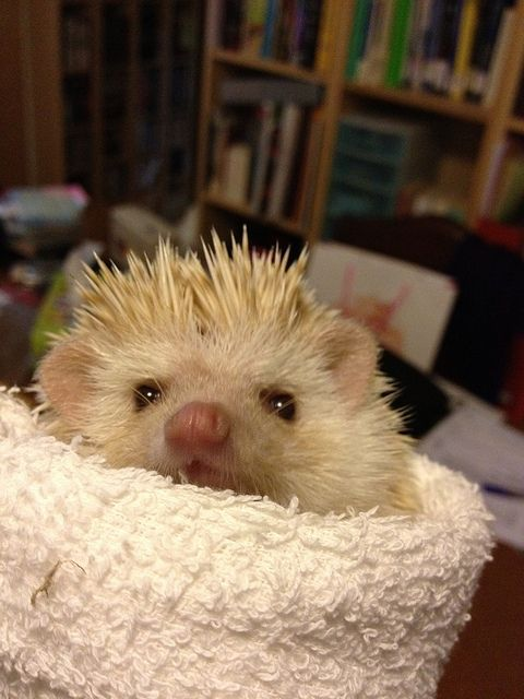 Cute Hedgehog:
