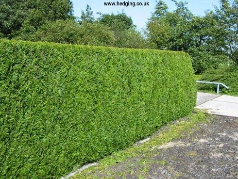 evergreen privacy hedge thuja plicata atrovirens western red cedar pictures landscaping. Black Bedroom Furniture Sets. Home Design Ideas