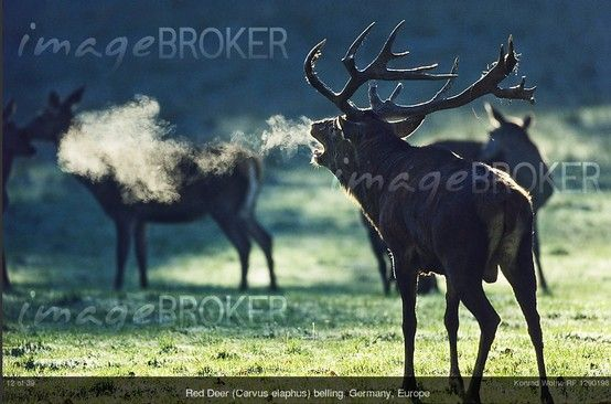 Photographer of the Month March 2012: Konrad Wothe (RF 1290198). Showing a Red Deer (Cervus elaphus) belling, Germany, Europe