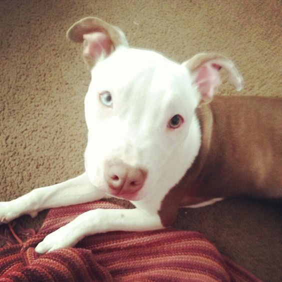 Rednose pitbull puppy. 5 months old. 2 different colored eyes.