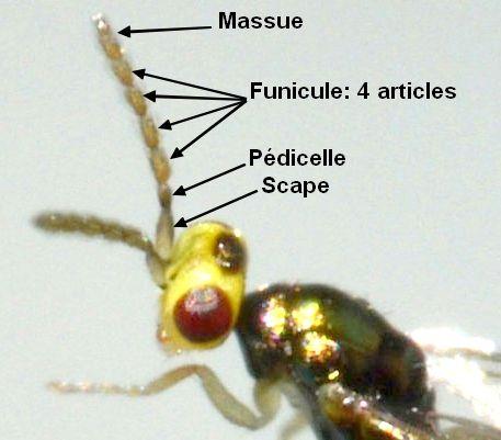 Eulophidae] Chalcidien panaché - Le Monde des insectes