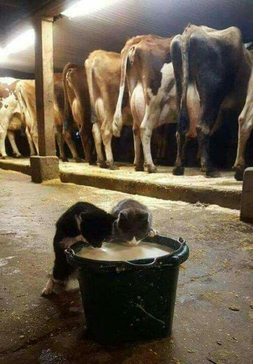 Old stantion milk setup like we had, including kittens in milk pail   Cats,  Animals, Funny cats