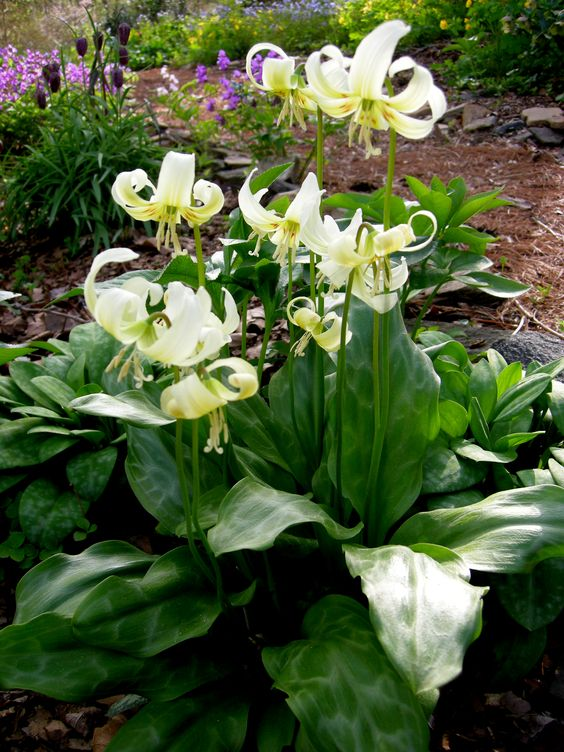 Dogtooth violet - woodland plant ~~~~~~~~ I have this and it it is so pretty! B.G. My flowers are yellow.