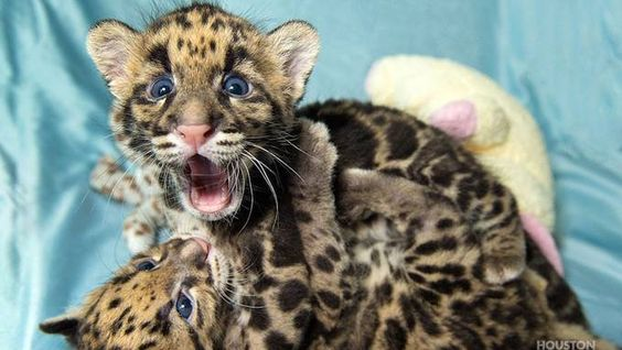 Meet The Houston Zoo's (Adorable) Clouded Leopard Cubs | Texas Monthly